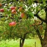 Fruit Trees for Communities