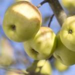 Community orchard seeking a home!